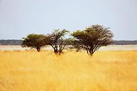 Acacia (Acacia) in prairie grass, Etosha National Park, Namibia, Africa