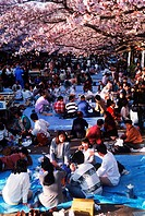 Japan, party and celebration during annual Sakura festivals...