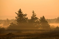 Red Spruces Picea rubens in morning light, Denmark, Europe
