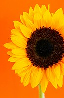 Close up of sunflower flower on orange background