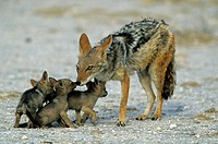 Black-backed jackal (Canis mesomelas) with cubs, Etosha, Namibia, Africa