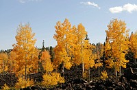 Lava fields, aspen trees Populus tremula in fall, Dixie National Forest, The Craters, Brian Head, Utah, USA