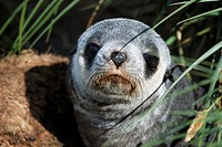 Antarctic fur seal Arctocephalus gazella  Cooper Bay, South Georgia  Antartica