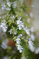 Blooming Rosemary, Rosmarinus Officinalis