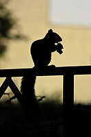 Silhouette of a bushy_tailed squirrel holding food in paws
