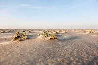 Saltwort growing at the wide beach at St Peter Ording, North Sea, North Friesland, Schleswig-Holstein, northern Germany, Germany, Europe