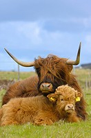 Scottish Highland cattle (Bos taurus), Skye Island, Highlands region, Scotland, United Kingdom, Europe