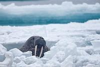 Walrus, Odobenus rosmarus, swimming between ice floes in Arctic Sea, Spitsbergen, Svalbard