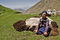 Kyrgyz nomads shearing sheep in the fields  Kyrgyzstan