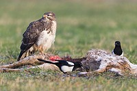 Common Buzard Buteo buteo and Common Magpies Pica pica, scavenging on deer carcass, winter