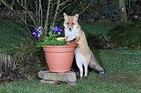 European Fox Vulpes vulpes, in garden, searching for food in plant pot