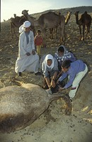 Birth of a Camel, Egypt
