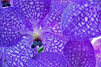 Purple Orchid (Orchidaceae)