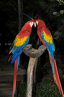 Scarlet Macaws (Ara macao), Xcaret, eco-archeological park, Playa del Carmen, Quintana Roo state, Mayan Riviera, Yucatan Peninsula, Mexico