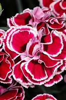 Dianthus sp. flowers, carnations, family Caryophyllaceae. Las Ramblas, Barcelona, Catalonia, Spain.