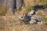 A single cheetah (Acinonyx jubatus) looking into the camera, Botswana, Africa