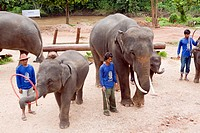 Elephant training camp Chiang Dao at Chiang Mai province, performing a show