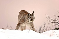 European Lynx,Felis lynx,Montana,North America,USA,adult in winter in snow