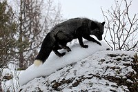 American Red Fox,Silverfox,Vulpes vulpes,Montana,USA,North America,adult searching for food in snow