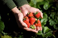 A man holding a handful of strawberries, close_up