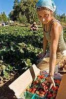 Young woman picking organic strawberries on small organic farm, Nevada City, California