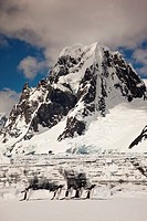 Gentoo penguins waddle across ice floe beneath Mt Scott, Petermann Island, Antarctic Peninsula