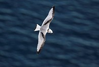 Kittiwake Rissa tridactyla juvenile, in flight over sea, Bempton Cliffs RSPB Reserve, East Yorkshire, England, july