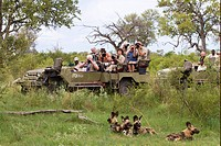 African Wild Dog Lycaon pictus adults, pack being watched and watched by tourists in vehicle, Okavango Delta, Botswana