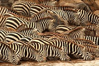 Eyes and ears of Zebras are on alert for detecting presence of predators