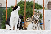 Europe, Greece, Cyclades, Santorini, Cat and kittens sitting on wall
