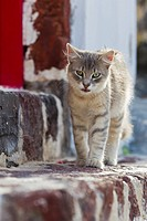 Europe, Greece, Cyclades, Santorini, Cat standing on steps