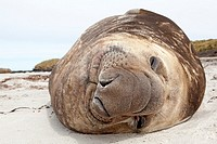 Falkland Islands , Sea LIon island , Southern Elephant Seal  Mirounga leonina.