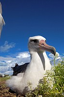 Laysan Albatross (Phoebastria immutabilis), Midway Atoll National Wildlife Refuge, Sand Island, Hawaii, USA