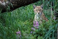 Eurasian Lynx Lynx lynx sitting in forest, Finland