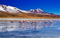 Flamingoes at Laguna Hedionda, Bolivia