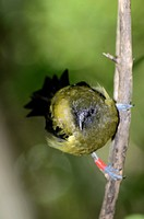 New Zealand Bellbird Anthornis melanura also known by its Maori name Korimako is a passerine bird endemic to New Zealand  Tirtiri Matangi Island, Haur...