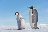 Antarctica, Antarctic Peninsula, Emperor penguin with chick walking on snow hill island