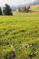 meadow in blossom, Nizke Tatry Low Tatras, Slovakia