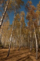 Birch grove Poland