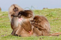 Gelada, Gelada Baboon or Ethiopian Lion Theropithecus gelada in the Simien Mountains National Park in Ethiopia  Geladas are an endemic primate species...