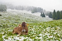 Cow on a snowy pasture