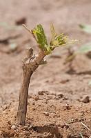 Close_up of a newly planted grape vine, Fatima Valley, Chilecito, La Rioja Province, Argentina