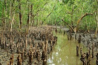 Mangrove of Nijhum Dwip, a cluster of islands in the Bay of Bengal, on the south of Noakhali district Hatia, Noakhali, Bangladesh November 2007