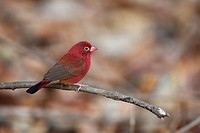 male Red-billed Firefinch Lagonosticta senegala, sitting on twig, The Gambia, Africa