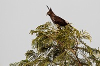 Long-crested Eagle Lophaetus occipitalis, sitting on tree, The Gambia, Africa