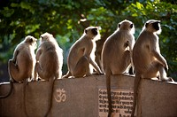 Hanuman langur Presbytis entellus, Common langur, Grey langur, group sitting on park bench, Mandore Garden, Jodhpur, Rajasthan, India