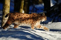 Eurasian Lynx Lynx lynx, stalking through the snow, National Park Bayerischer Wald, Bavaria, Germany