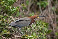 Rufescent Tiger-heron Tigrisoma lineatum standing on tree, Pantanal, Brazil
