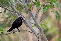Giant Cowbird Molothrus oryzivorus sitting on twig, Pantanal, Brazil