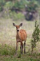 female Marsh Deer Blastocerus dichotomus standing in savannah, Pantanal, Brazil